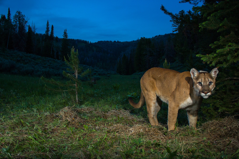 Mountain lion at night.(photo credit:  Neal Wight)
