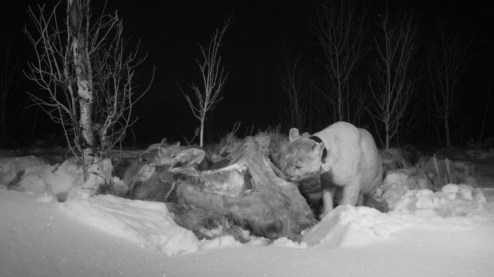 Mountain lion caught on camera.(photo credit:  Jeff Hogan/ Hogan Films)