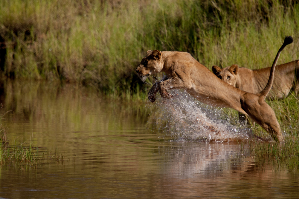 LAKE KARIBA MATUSADONA NATIONAL PARK ZIMBABWE AFRICA: Eastern Pride makes a big leap over a creak fearing a croc that was patrolling about 10 meters away.   (Photo Credit: MATTHEW HOOD/ DON PERCIVAL/ Goddunnit Promotions)