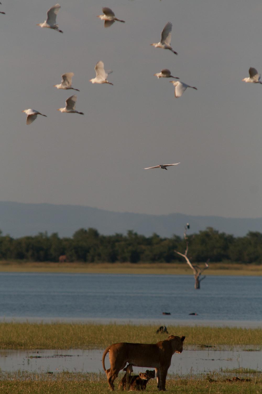 LAKE KARIBA MATUSADONA NATIONAL PARK ZIMBABWE AFRICA: Nabule and Cubs with Egrets flying overhead overlooking Fothergill Island.  (Photo Credit: MATTHEW HOOD/ DON PERCIVAL/ Goddunnit Promotions)