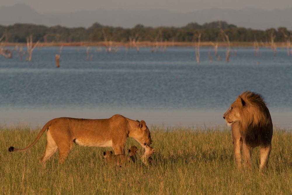 LAKE KARIBA MATUSADONA NATIONAL PARK ZIMBABWE AFRICA: Nabule with cubs meeting father on the lakeshore.  (Photo Credit: MATTHEW HOOD/ DON PERCIVAL/ Goddunnit Promotions)