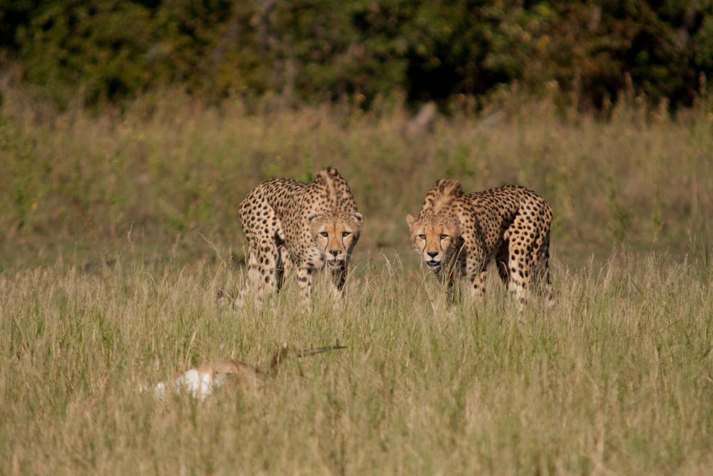 LAKE KARIBA MATUSADONA NATIONAL PARK ZIMBABWE AFRICA: Cheetah kill of Impala mid day.  (Photo Credit: MATTHEW HOOD/ DON PERCIVAL/ Goddunnit Promotions)