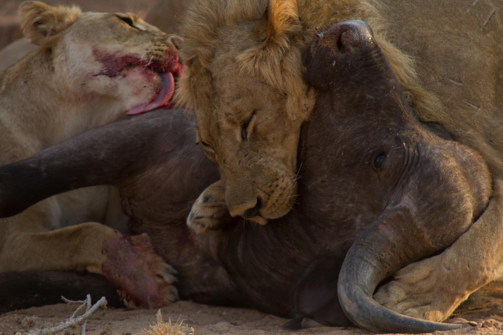 LAKE KARIBA MATUSADONA NATIONAL PARK ZIMBABWE AFRICA: First documented buff kill by the three big boys filmed toward the end of the shoot.  (Photo Credit: MATTHEW HOOD/ DON PERCIVAL/ Goddunnit Promotions)