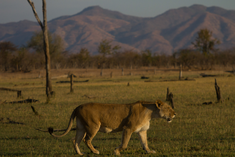LAKE KARIBA MATUSADONA NATIONAL PARK ZIMBABWE AFRICA: Lioness with Matusadona escarpment in the back ground.  (Photo Credit: MATTHEW HOOD/ DON PERCIVAL/ Goddunnit Promotions)