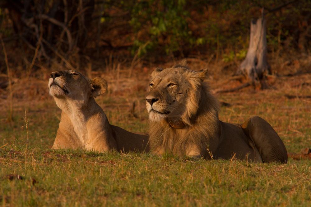 LAKE KARIBA MATUSADONA NATIONAL PARK ZIMBABWE AFRICA: Lion bliss chilling between a mating session.  (Photo Credit: MATTHEW HOOD/ DON PERCIVAL/ Goddunnit Promotions)