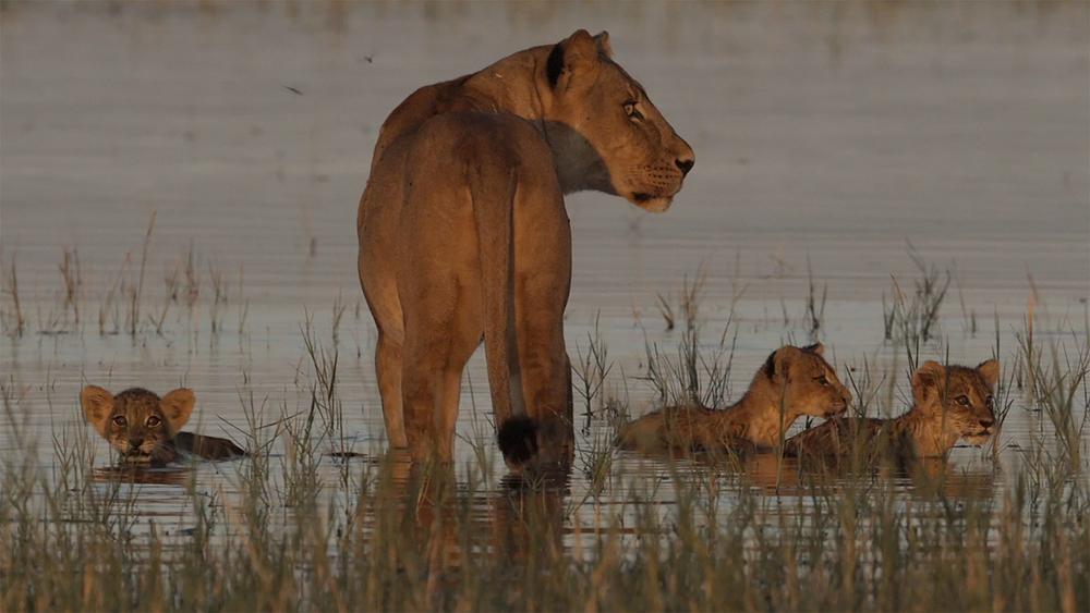 LAKE KARIBA MATUSADONA NATIONAL PARK ZIMBABWE AFRICA: Nabula plus three cubs in the water. Nabula wisely led them out just before a croc came into sight.  (Photo Credit: MATTHEW HOOD/ DON PERCIVAL/ Goddunnit Promotions)