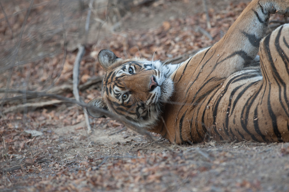 Lahpur Valley, Ranthambore National Park:  A female tiger named Krishna rolls on her back in the wooded area of Lahpur Valley, Ranthambore National Park.  (Photo credit: © Natural History Unit India / Dhritiman Mukherjee)