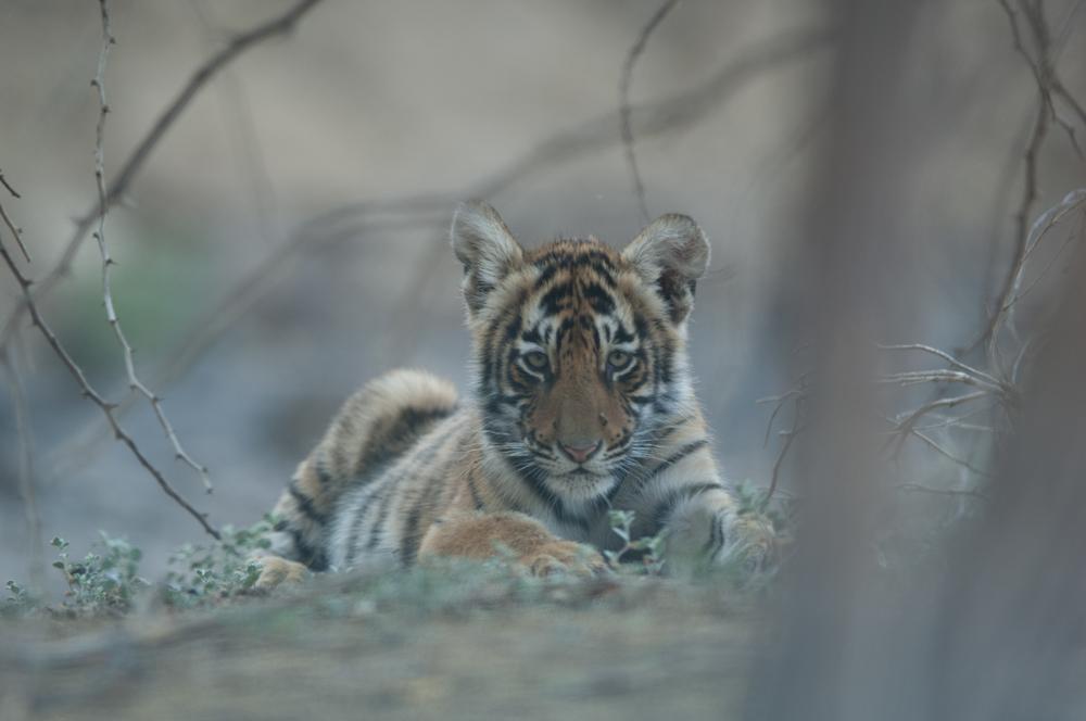 Sundari's cub rests in the Rajbagh Area, Ranthambore National Park.  (Photo credit: © Natural History Unit India / Dhritiman Mukherjee)