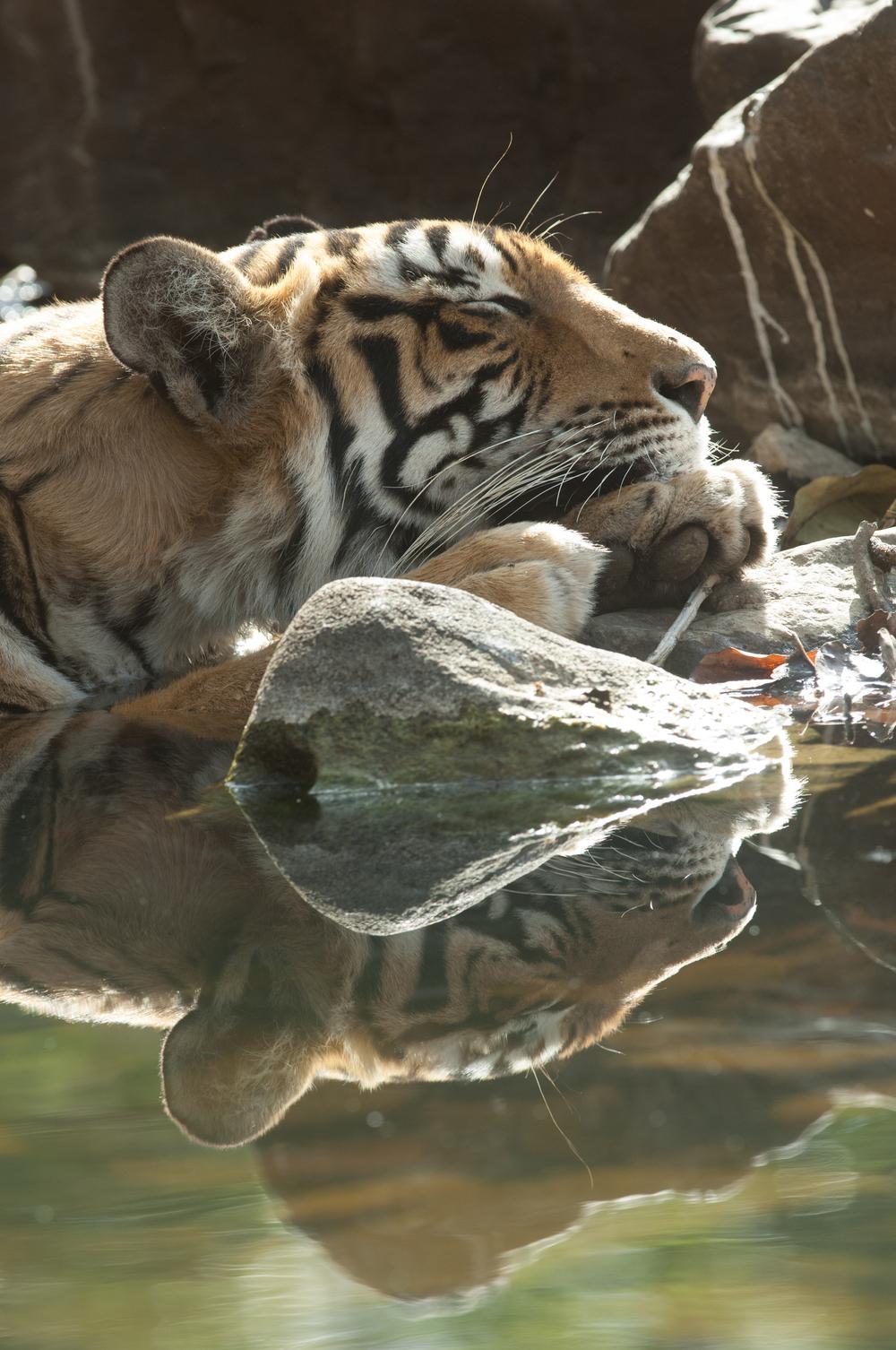 Sundari in the lake of the Rajbagh Area, Ranthambore National Park.  (Photo credit: © Natural History Unit India / Dhritiman Mukherjee)