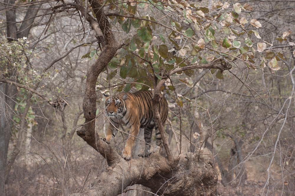 Sundari climbing on fallen tree in Zalim area.  (Photo credit: © Natural History Unit India / Dhritiman Mukherjee)