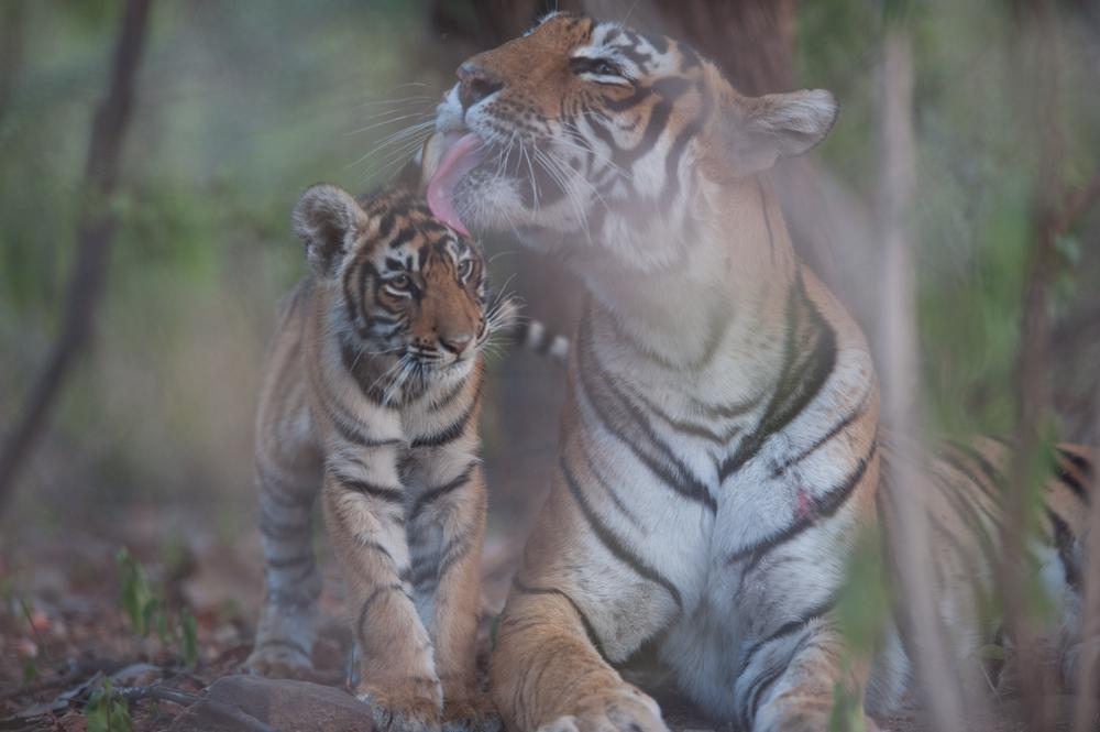 Rajbagh Area, Ranthambore National Park:  Sundari grooms her cub.  (Photo credit: © Natural History Unit India / Dhritiman Mukherjee)