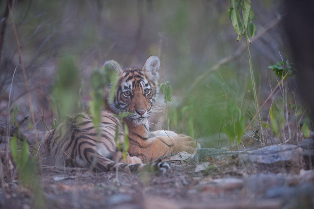 Rajbagh Area, Ranthambore National Park: Sundari's cub.  (Photo credit: © Natural History Unit India / Dhritiman Mukherjee)