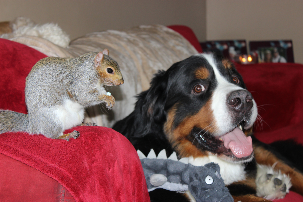 Baltimore, MD:  While lounging on the couch, bernese mountain dog Jax relaxes as unlikely friend Wally, a squirrel, nibbles on a nut. Wally was brought into Jax's home as a baby squirrel, and the dog adopted the little guy as a brother. Now that Wally is grown up, these two unlikely friends have turned their family home into a nut house — literally! Wally even hides nuts in Jax's fur!(Photo credit: © National Geographic Channels / Jörg Fockele)