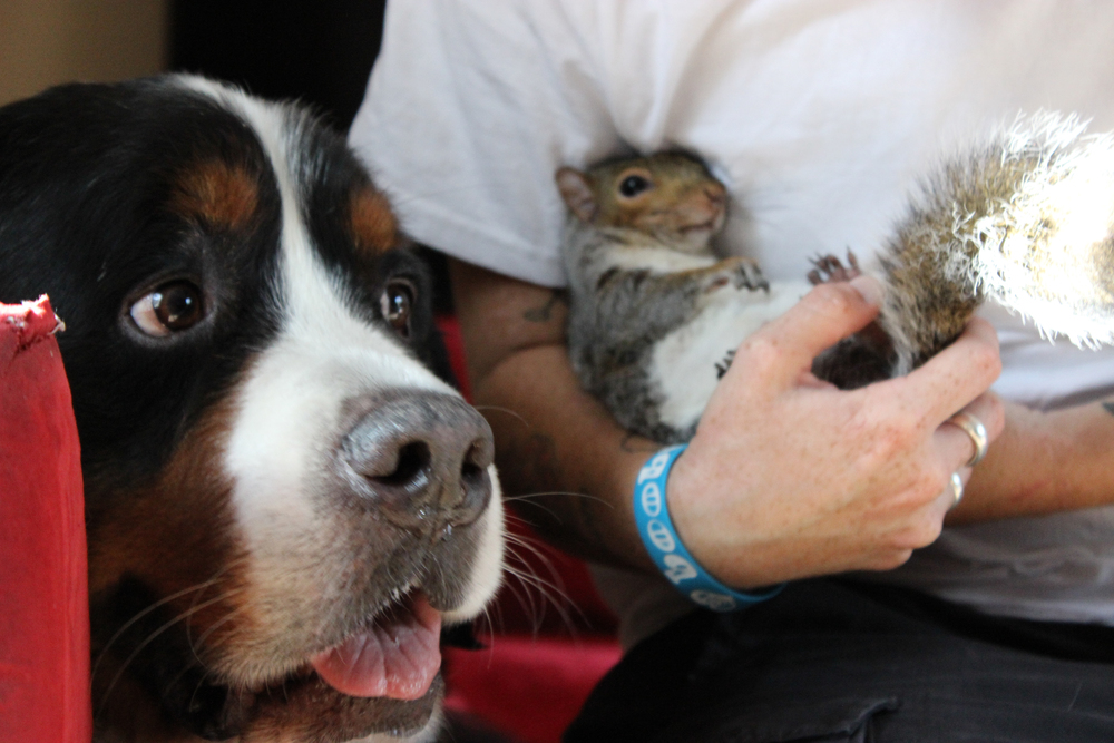 Baltimore, MD: Squirrel Wally relaxes in the arms of owner Kate Harris, while Jax the bernese mountain dog stays loyally beside his best buddy. Wally was brought into Jax's home as a baby squirrel, and the dog adopted the little guy as a brother. Now that Wally is grown up, these two unlikely friends have turned their family home into a nut house — literally! Wally even hides nuts in Jax's fur! (Photo credit: © National Geographic Channels / Jörg Fockele)