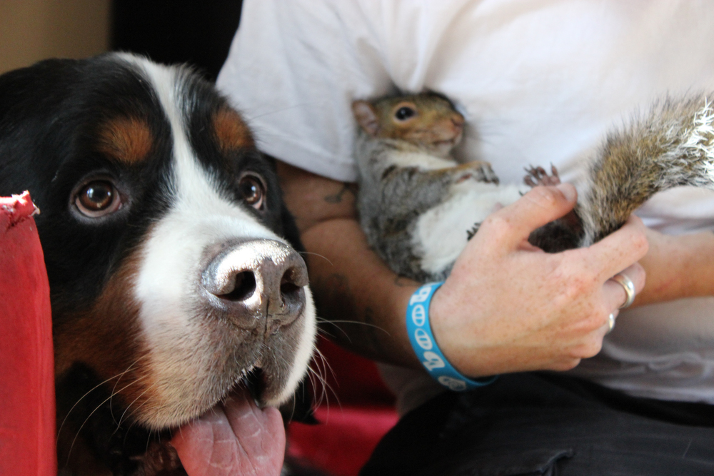 Baltimore, MD: Bernese mountain dog Jax stays loyally beside his unlikely squirrel companion, Wally, who is cradled in arms of owner Kate Harris. Wally was brought into Jax's home as a baby squirrel, and the dog adopted the little guy as a brother. Now that Wally is grown up, these two unlikely friends have turned their family home into a nut house — literally! Wally even hides nuts in Jax's fur! (Photo credit: © National Geographic Channels / Jörg Fockele)