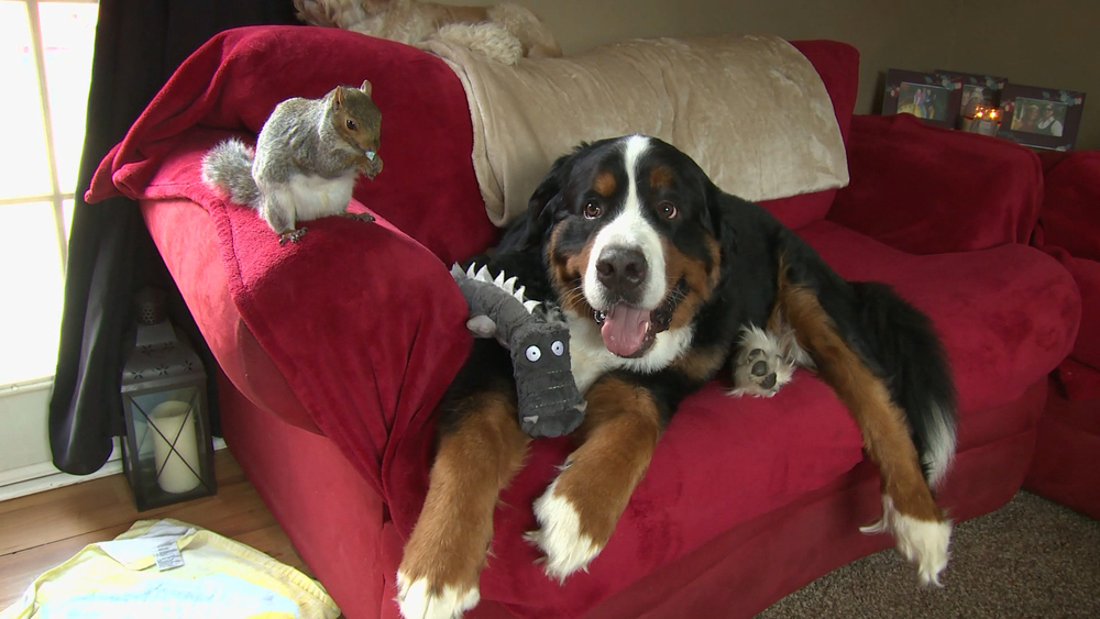 Baltimore, MD: Squirrel Wally chews on a nut on the arm of the couch while his best friend bernese mountain dog Jax relaxes next to him. Wally was brought into Jax's home as a baby squirrel, and the dog adopted the little guy as a brother. Now that Wally is grown up, these two unlikely friends have turned their family home into a nut house — literally! Wally even hides nuts in Jax's fur! (Photo credit: © National Geographic Channels / Thomas Kaufman)