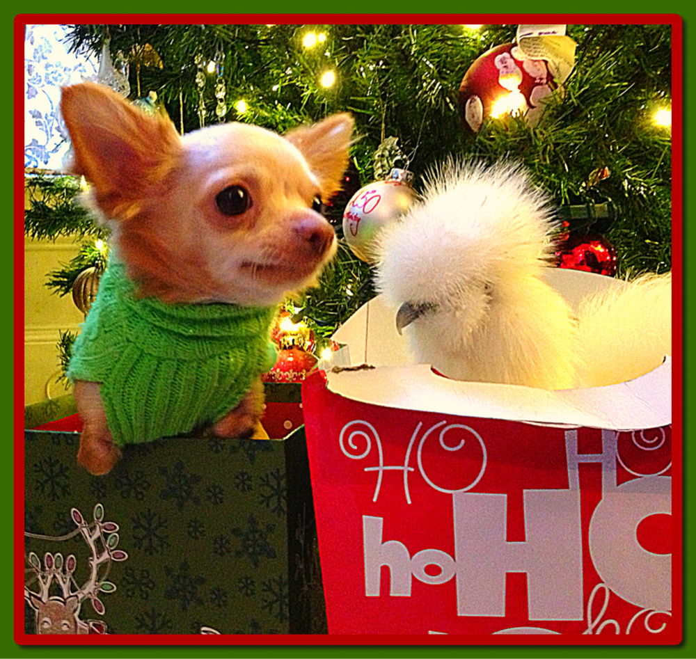 Two-legged chihuahua Roo and his best buddy Penny, a silkie chicken celebrate the holiday — season's greetings from one unusual animal pair! Both of these two-legged orphans found friendship, and family, with one another after being rescued by Alicia Williams, a worker at Duluth Animal Hospital. (Photo credit: © National Geographic Channels / David Chapiro)
