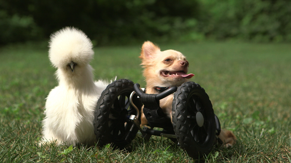 Two-legged chihuahua Roo is right next to his best buddy Penny, a silkie chicken. Both of these two-legged orphans found friendship, and family, with one another after being rescued by Alicia Williams, a worker at Duluth Animal Hospital. (Photo credit: © National Geographic Channels / David Chapiro)