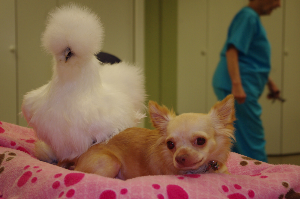 Two-legged chihuahua Roo lounges beside his best buddy Penny, a silkie chicken, who is strutting right next him. Both of these two-legged orphans found friendship, and family, with one another after being rescued by Alicia Williams, a worker at Duluth Animal Hospital. (Photo credit: © National Geographic Channels / David Chapiro)