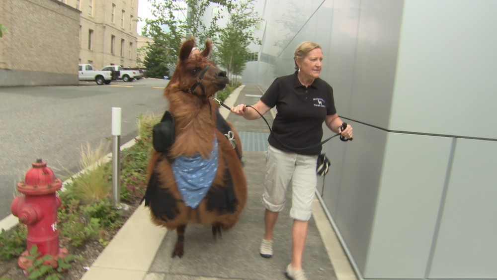 PORTLAND, Ore. - Lori Gregory walks her unlikely animal friend, Llama Rojo, into a local Portland, Oregon, hospital for a therapy visit. Rojo acts as a therapy llama for chronically ill patients around Portland, Oregon, and his friendship has made Lori not only his handler, but his lifelong companion. (National Geographic Channels/Emery Clay)