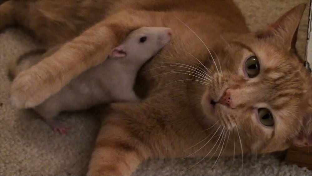 CEDARBURG, Wis. - Ranj, the cat hugs his unusual pal Peanut, the rat.  Owner Maggie Szpot documented this unusual couple's friendship and her videos went viral with over nine million hits. (National Geographic Channels/Maggie Szpot)