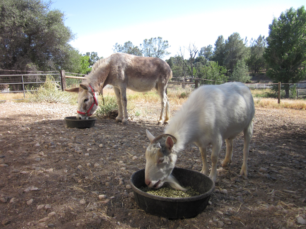 GRASS VALLEY, CA.:  Donkey Jellybean and his best buddy Mr. G, a goat, eat their grain side-by-side at a sanctuary called Animal Place. Mr. G was first brought to Animal Place alone, but went on a hunger strike due to being separated from his best friend, Jellybean. The donkey was transported to Animal Place, the two were reunited, and the hunger strike was over.(Photo credit: © National Geographic Channel / Ali Cotrell )
