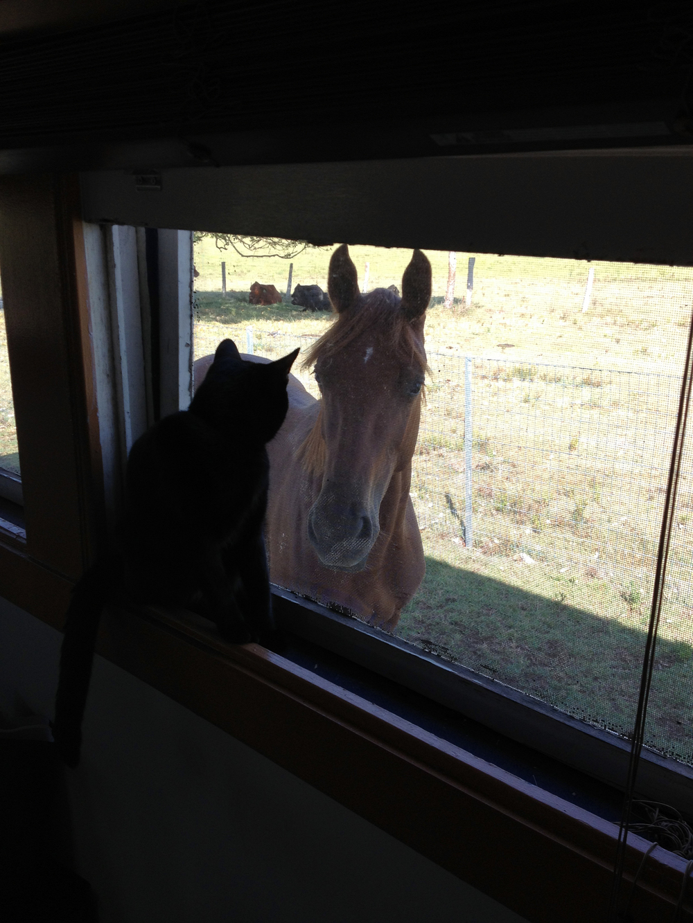 Champy, the horse stands outside the window, staring longingly at unlikely friend Morris, the cat who sits inside on the windowsill. Although Morris did not initially like Champy, it seems these two now hate being apart.  Morris regularly rides Champy's back around the pasture, clocking in more riding time than even their human owner Jennifer Boyle. While Morris has attempted such riding adventures with other horses, Champy is the only one that not only tolerates but loves this furry riding companion. (Photo credit: © National Geographic Channel / Jennifer Boyle)