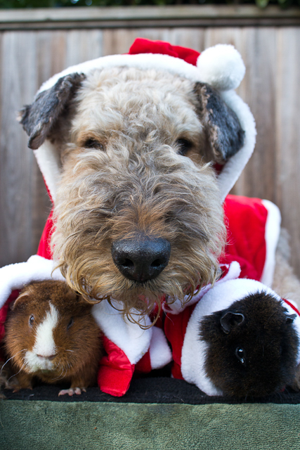 VANCOUVER, Canada - Sunshade the Airedale Terrier is ready for Christmas with unlikely guinea pig friends Meatball and Sesame. Sunshade was originally trained to hunt and expel vermin from people's properties, but instead found a deep love for guinea pigs. Meatball, Sesame, and their three little piggies have become Sunshade's best friends. (National Geographic Channels/Elaine Hu)
