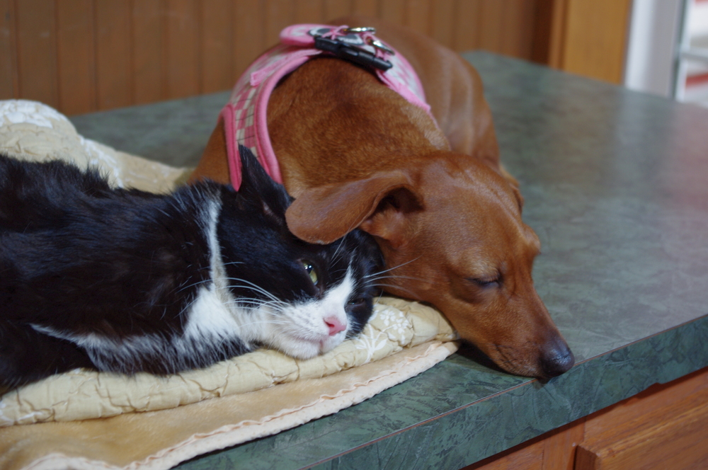 LAKE MARY, Fla. - Dachshund Idgie stays loyally by the side of her unlikely animal friend, cat Ruth. Ruth suffers from a genetic disorder that inhibits her mobility, but best friend Idgie gives her comfort and strength to deal with the disorder. (National Geographic Channels/Ali Cotrell)