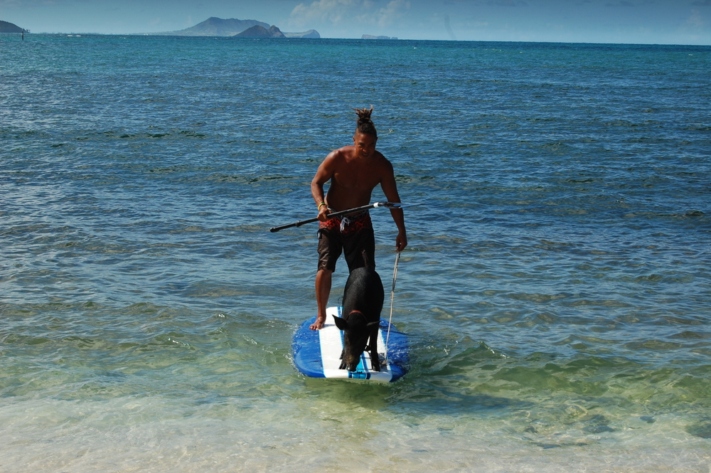 OAHU, Hawaii - Kai Holt surfs with his unlikely friend, a pet pig named Kama. This inseparable duo shares a bed, eats fruits from the same tree, and even surfs together! (National Geographic Channels/Julia Dorn)