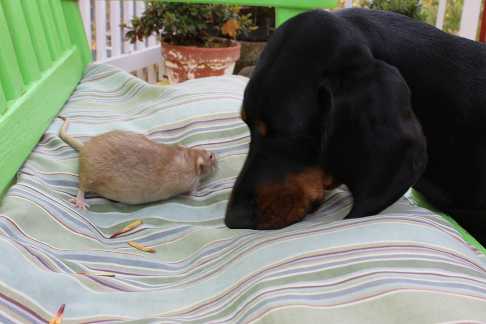 ROXBURY, N.Y. - Cooper, the coonhound and his unlikely friend Olivia the rat spend time in the garden on their upstate New York farm. Olivia and Cooper both belong to animal rehabilitator Christopher Durham, and these two prove that size doesn't matter in friendship. (National Geographic Channels/Jorg Fockele)