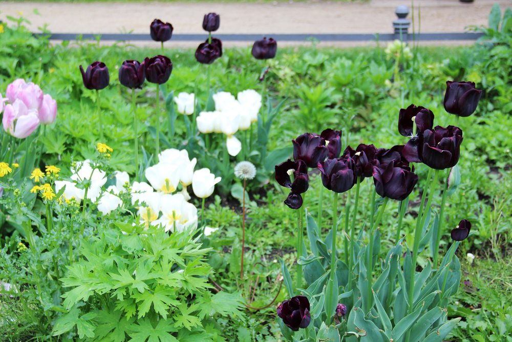 stephanie_levy_berlin_tulips