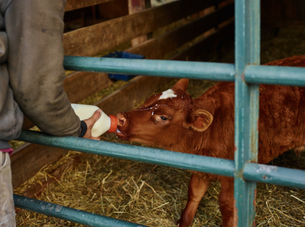 Baby calf being fed milk and nutrients by Andrew the farmer at the dairy farm
