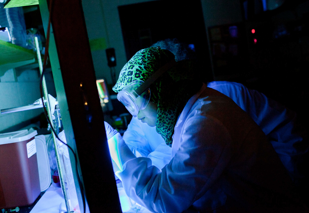 Riana works under black light in her genetic engineering lab at Rochester Institute of Technology, Apr 19, 2012.