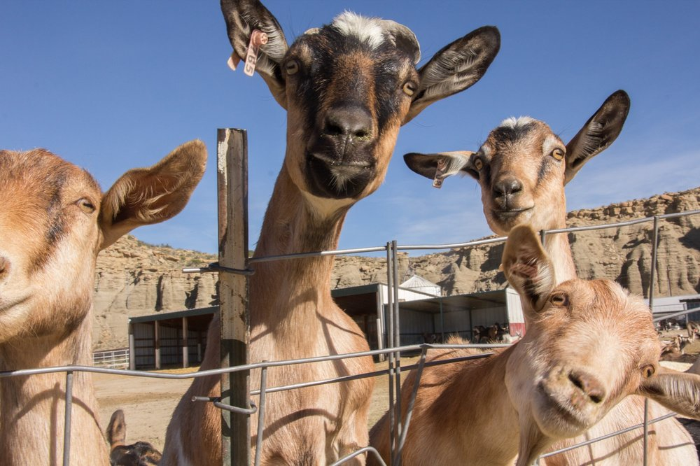 Photos, Dan Charles/NPR   What's It Really Like To Work in A Prison Goat Milk Farm? We Asked Inmates