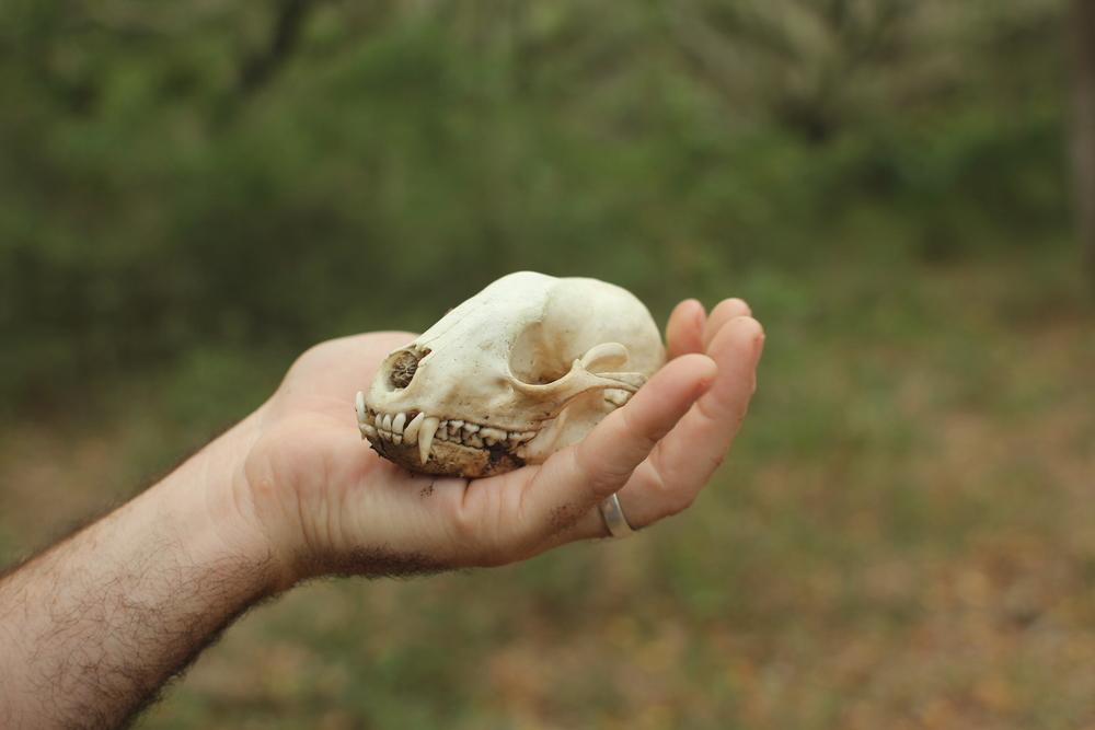 A skull Trae found on a hike last year on Cumberland.