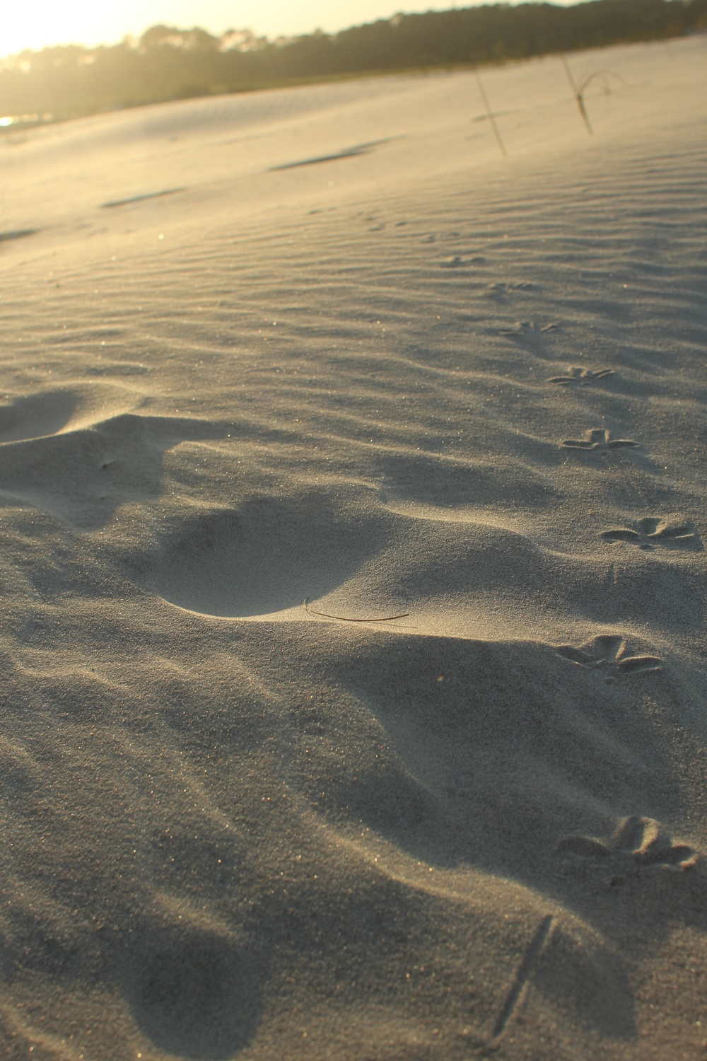 A shore bird's trail across the dunes.