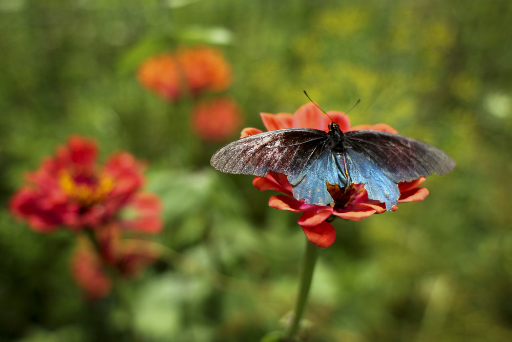 A pipevine swallowtail (Battus philenor)on one of our zinnias
