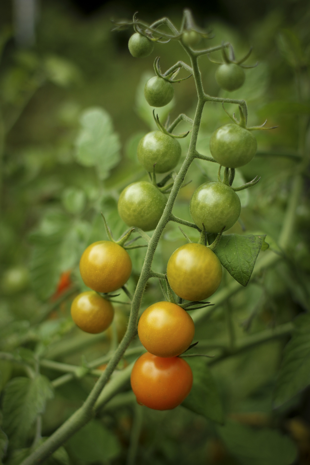 Sungold tomatoes are ripening in a rainbow of colors in our garden.