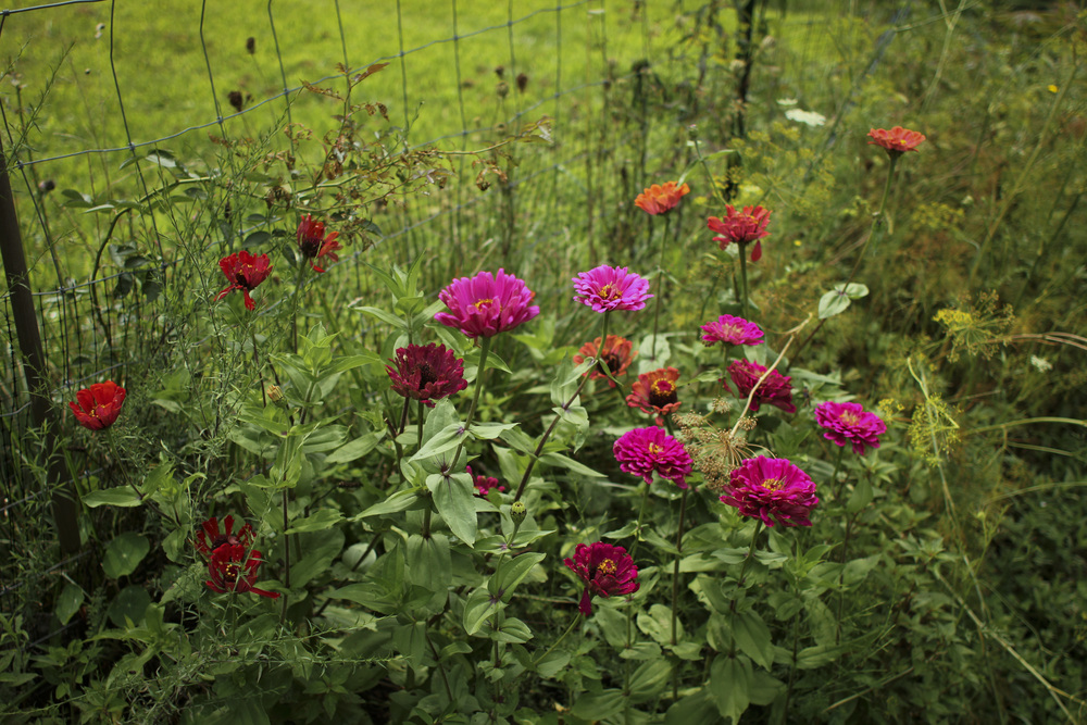 Some colorful zinnias I planted in our garden.