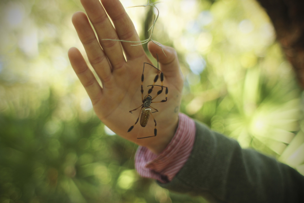 Golden Orb Weaver, Carroll's hand for scale.