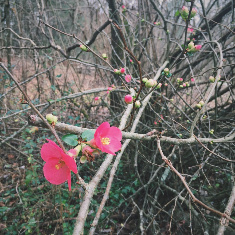 It was so warm this December, our quince started blooming.