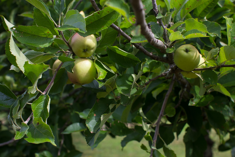 Our apples are looking great this year!
