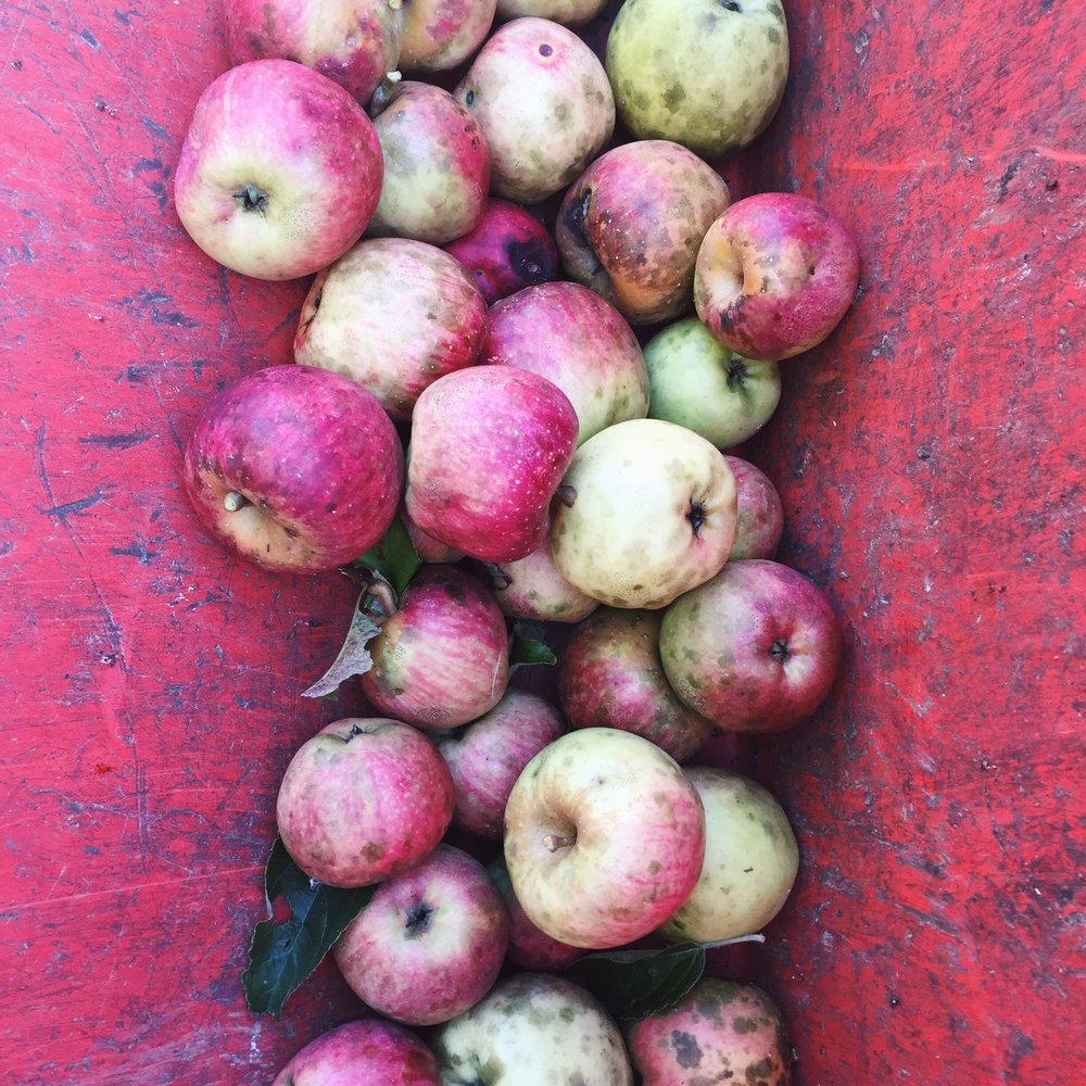 Apples in the tractor bucket.