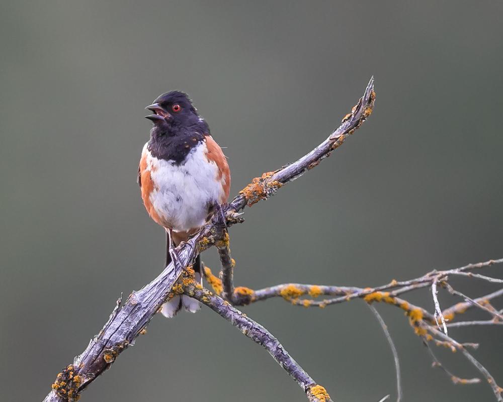 Pipilo-maculatus-(Spotted-Towhee,-Tohi-tacheté)-male-2.png