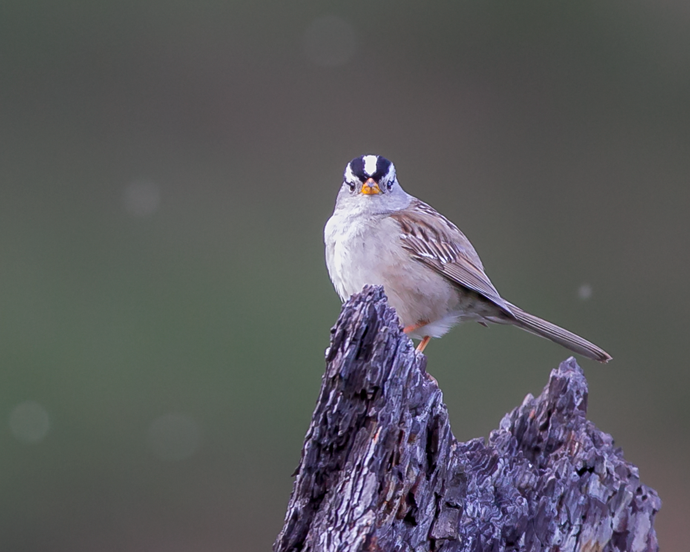 Zonotrichia-leucophrys-(White-crowned-Sparrow,-Bruant-à-couronne-blanche)-male-1.png
