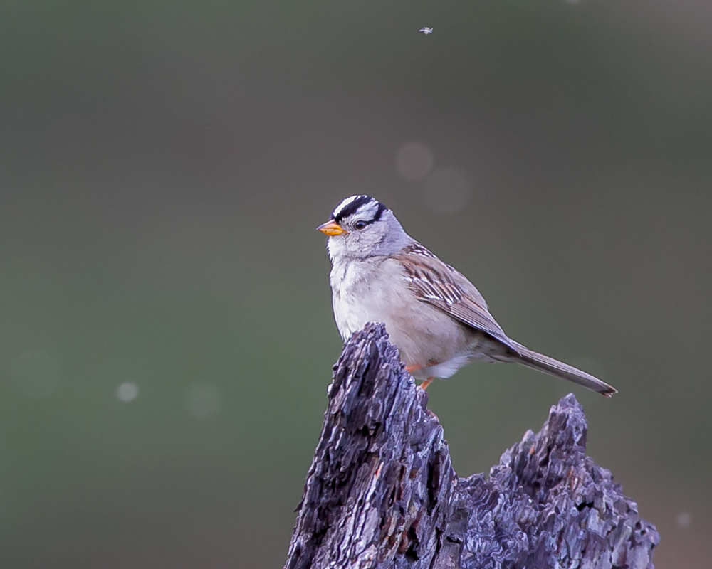 Zonotrichia-leucophrys-(White-crowned-Sparrow,-Bruant-à-couronne-blanche)-male-2.png