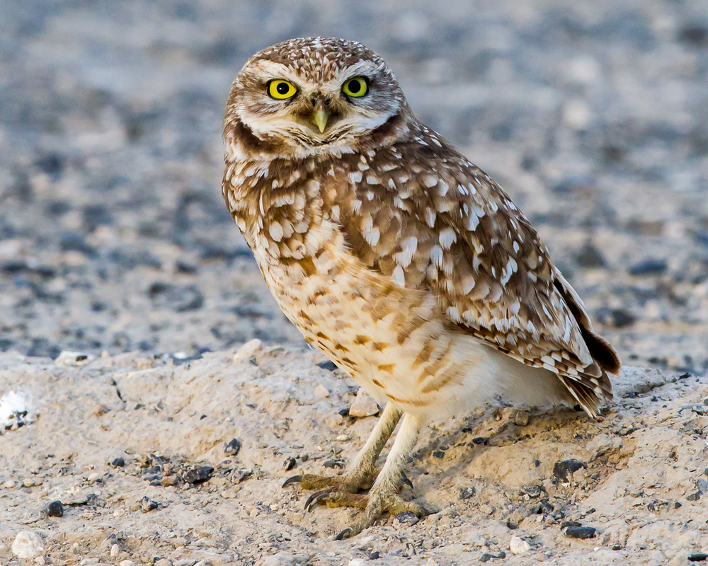 Athene-cunicularia-(Burrowing-Owl,-Chevêche-des-terriers)-male-2.png