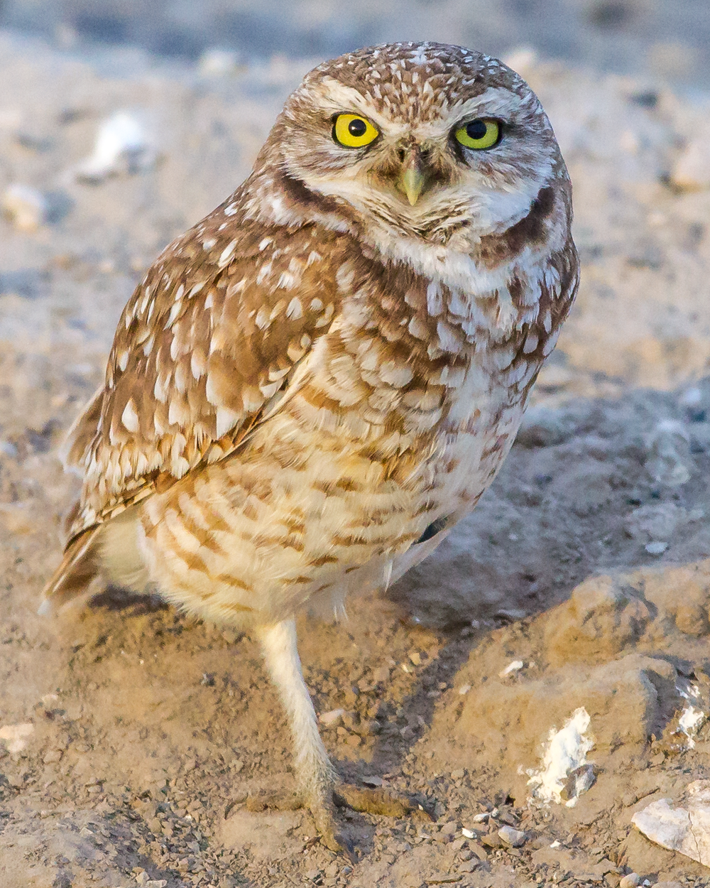 Athene-cunicularia-(Burrowing-Owl,-Chevêche-des-terriers)-male-StandingOnOneLeg.png