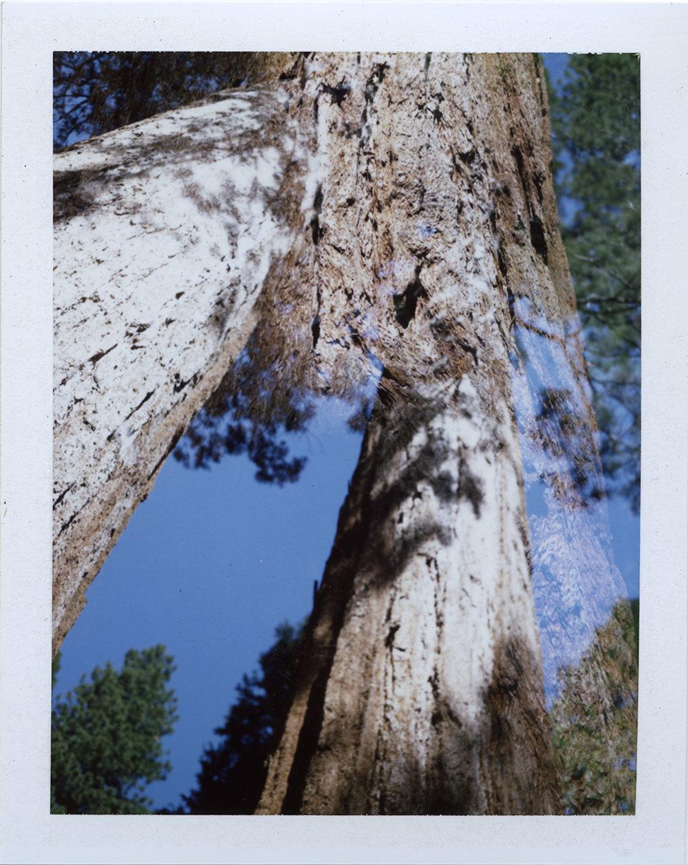 Parssi_Sequoia.jpg
